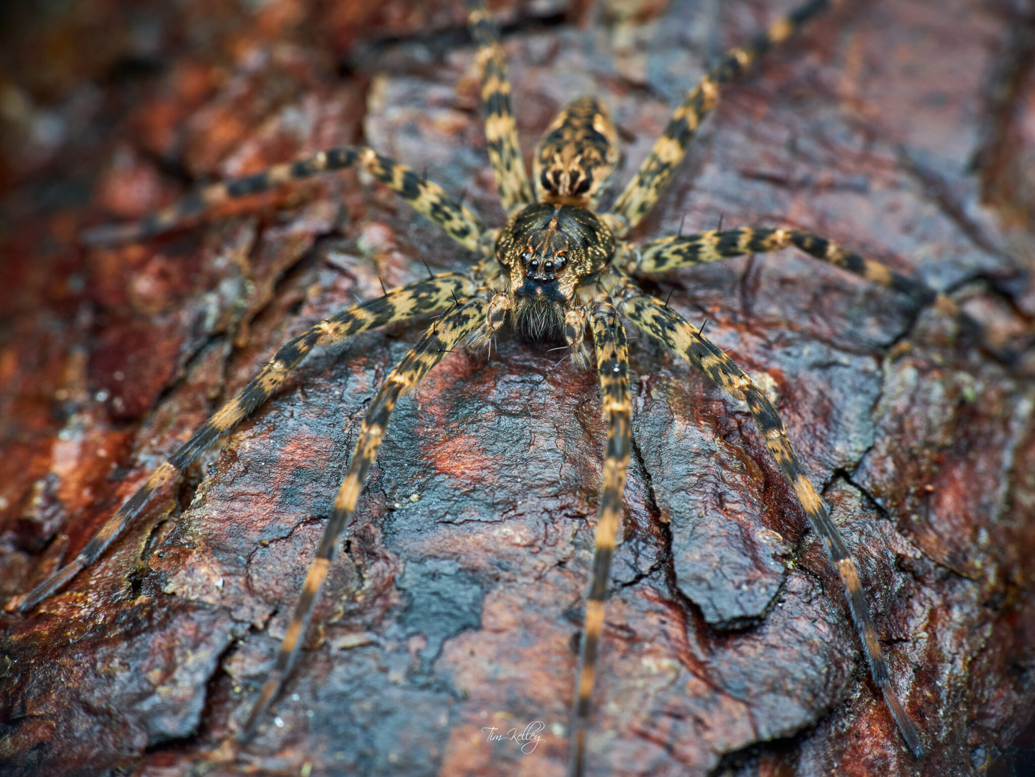 The fishing spider and how its camouflage on trees lured them into my heart